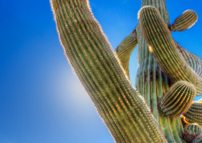 Upturned saguaro arm