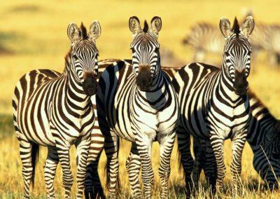 burchells_zebras_masai_mara_kenya